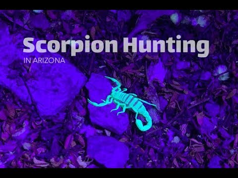 Scorpion Hunting in the Arizona Desert – Finding the Most Venomous Scorpion in North America