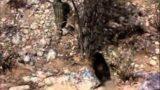 True Life Adventures – The Living Desert- Bobcat Chase