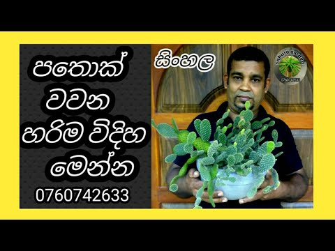 cactus  , cactus , cacti how grow sinhala and cactus cultivation , cactus verities (sakura garden)