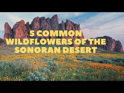 5 Common Wildflowers of the Sonoran Desert