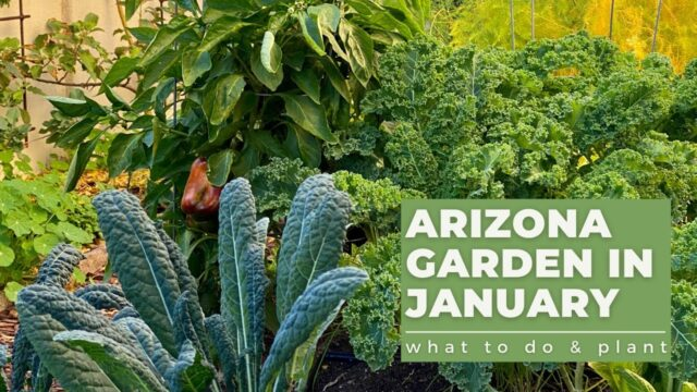 ARIZONA GARDEN in JANUARY: What TO DO & PLANT