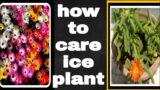 How To Care Ice Plant in Urdu hindi/jewel of desert plant information