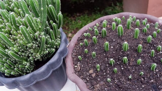 "Propagating my One of the Most Beautiful Cactus ""Fairy Castle Cactus"" from Pups After 15 Days"