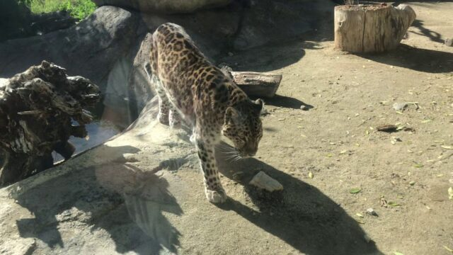 Amur leopard at the Living Desert Zoo Palm Desert California