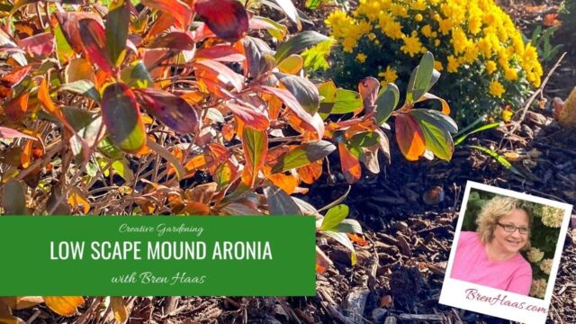 Low Scape Mound Aronia in My Landscape