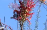 OCOTILLO plant in full bloom ~ the flower of the