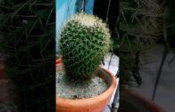 Golden Ball   Echinocactus Grusonii   Desert Gardens   Rock