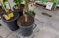 GreenMangoes   Shopping for tropical fruit trees   Desert tropical