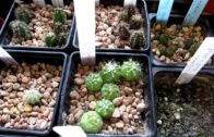 My cactus and succulent seedlings I grow from seeds-update