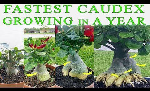 Fastest Growing Caudex In A Year – How to repot Desert Rose (Adenium)