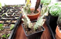 About Euphorbia-How is Euphorbia Different from Cactus