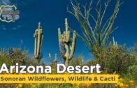 Arizona desert cacti, wildflowers and wildlife