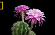 Back in time: beautiful cacti bloom in front of your