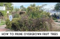 Basics of Desert Gardening: How to Prune Fruit Trees