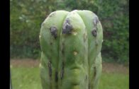 Black spots/pustules/lumps on Trichocereus and other cacti and their causes