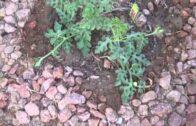 Gardening in the Desert Landscaping Las Vegas Style 1 Month