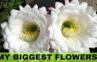 My Big Twin Cactus Blooms | Acanthopanax chin