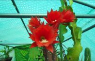 My epiphytic rainforest cactus blooms and buds renew