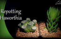 Rotating pot twelve rolls | Coarctata Greenii & Maughanii |