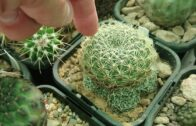 When and how to water the cactus-peak season