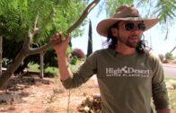 The Palo Verde Desert Museum is a must-have (Cercidium'Desert Museum')