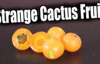 Barbados Gooseberry: Past Cactus Link-Strange Fruit Explorer