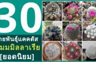 Cactus Identification | Name of Mammillaria Cacti (30++)🌵 แนะนำ 30