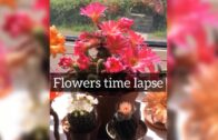 Cactus flower time passing   Peanut cactus   High resolution