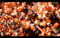 Desert mistletoe, Phoradendron californicum, Joshua Tree National Park, California
