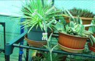 Haworthia limifolia-Inflorescence of Haworthiopsis limifolia with small flowers