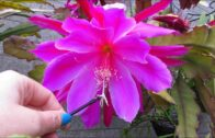 How to Cactus-Cross-pollinated Epiphyllum'Orchid Cactus'