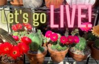 Let's go live! May 27th, spring cactus blooms   Cactus