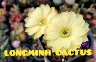 Longming cactus