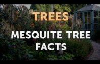 Mesquite facts