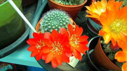 My Rebutia Krainziana cactus blooming