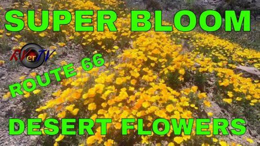 SUPER BLOOM 2019 Desert Flower-Route 66 Oatman AZ