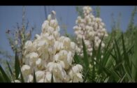 Yucca plant