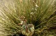 Yucca plant, a more useful desert plant