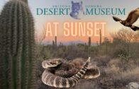 🌅 Beautiful Arizona-Sonora Desert Museum🌵 at sunset