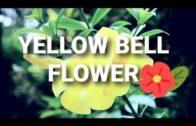 Beautiful yellow bell (TECOMA STANS) flowers | Christian Atga