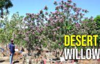 Burgundy Desert Willow
