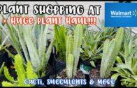 Buy plants at the Walmart Big Box store|| Cacti, succulents