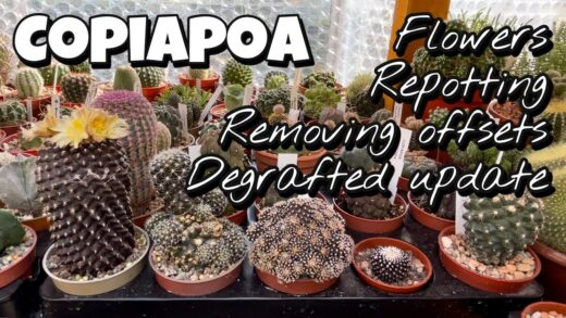 Copiapoa flower, repotting, removing offset, threshing cactus renewal, smelly flower