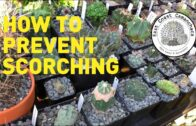 How to prevent cacti and succulents from being burned/sunburned