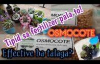 How to put Osmocote into succulents and cacti||Paano maglagay ng