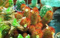 My Mammillaria Elongata'Copper King' Cactus Blooming-Ladyfingers Cactus