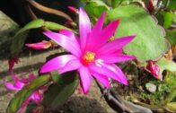 My Rhipsalidopsis gaertneri Easter cactus blooming in summer