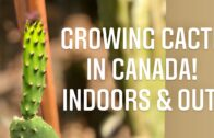 Raise cacti indoors in Canada.Common cactus problems and fixes |