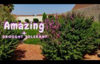 Texas Sage Easy and Drought Tolerant Plant Zone 9 |