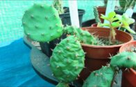 Watering the crumpled cactus cactus after 7 months-before and after